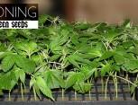 graine de cannabis - cloning