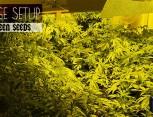graine de cannabis - huge setup