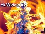 graine de cannabis - jack widow #2
