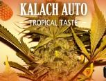graine de cannabis - kalach