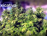 graine de cannabis - mexicativa