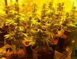 graine de cannabis - culture