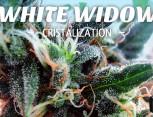 graine de cannabis - white widow