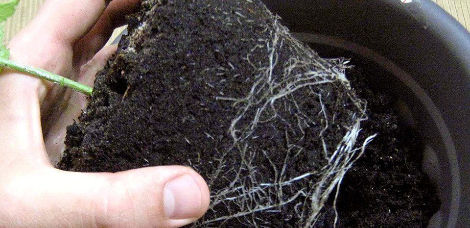 Conseils de rempotage des graines de cannabis Queen Seeds